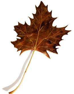 Maple Leaf profile